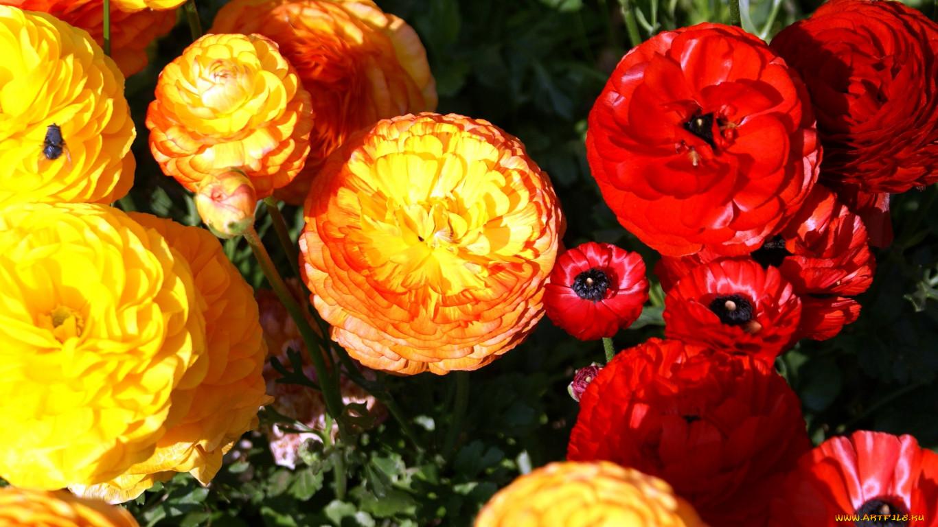 Цветы ранункулюс фото и уход